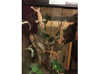 Baby Crested Gecko's