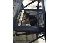 FREE kitten black/white/brown