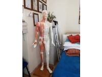 Acupuncture & muscle male model - pressure point & meridians