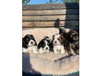 Adorable Cavachon puppies * only 2 left*
