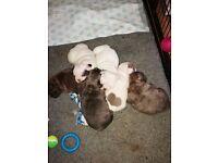Blue french bulldog puppies
