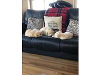 Huskador pups
