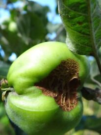 Great apple appeal - we need surplus apples go to waste - to make our lovely ClydeCider