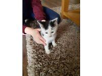 Kitten 8 weeks old
