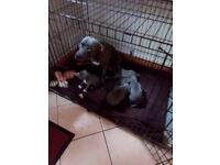 Chunky blue staff pups
