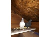 Beautiful healthy pigeons for sale.