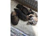 KC registered Border terrier pups
