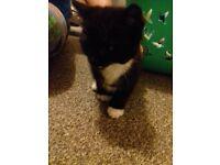 Ragdoll x british longhair black and white kitten