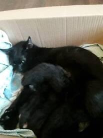 Dewarf kittens