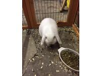 2 Mini lop ear rabbits