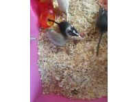 3 Male gerbils need homing £10