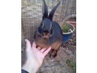 Baby Belgian Hares 2 buck rabbits