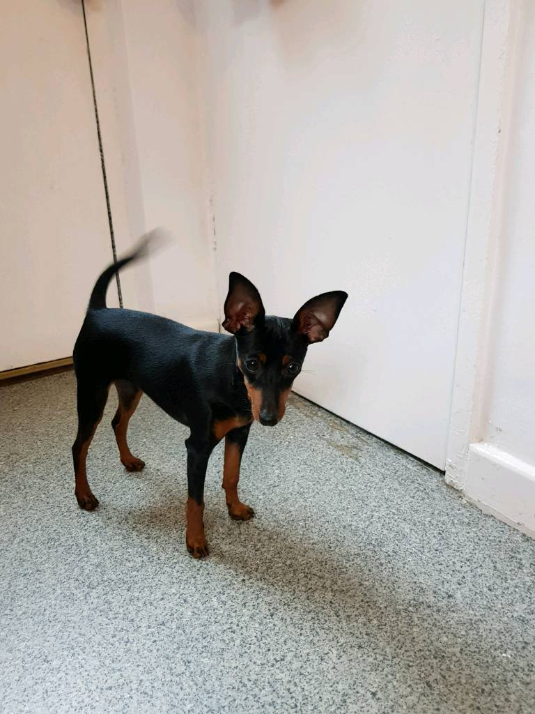 Miniature Pincher 5 months old for sale