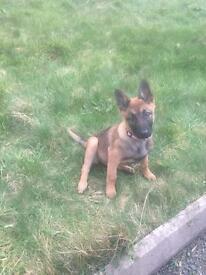 Belgian shepherd pup female