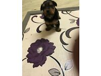 Chorkie pups for sale 8 weeks old both males.