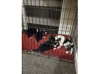 Welsh mountain collie cross border collie pups 3 males left
