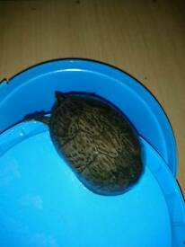 Musk turtle no setup