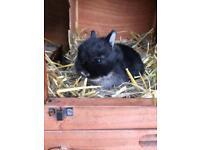Pure Netherland dwarf rabbit