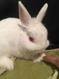 Litter trained dwarf rabbit for sale. Very cuddly and loves playing!