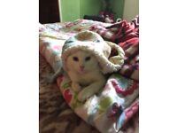 Lovely white kitten like snow