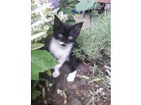 Beautiful female kitten - Lincoln