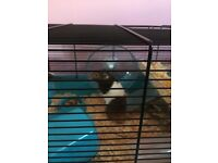 2 Syrian hamsters girl and boy both 6 months old