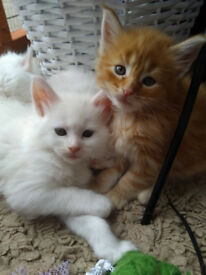 Adorable Maine Coon Kittens for Sale