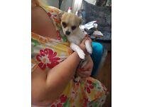Lovely young male chihuahua, 7 months old