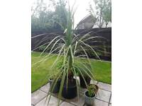 Palm Tree - 32L pot - 2m Tall - Large Specimen - £80 ono - Glenrothes