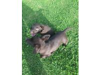 Two chocolate labradors for sale dog/bitch all chipped and fully papered call on 07922559087