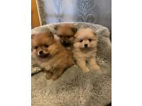 Pomeranian puppys teddy bear