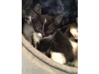 2 black white healthy chubby dalmation spot kittens ready now