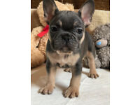 Lovely Black/ Blue & Tan French Bulldog Puppies
