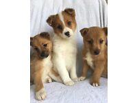 ❤️❤️Jack Russell puppies ❤️❤️