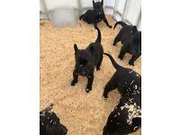 ADORABLE BELGIAN SHEPHERD PUPPIES