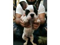One beautiful female french bulldog