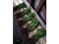 45 x laylandii quick growing conifers