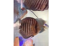 """Red Snakeskin Discus 4"""""""