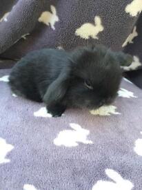 Black self buck mini lop rabbit