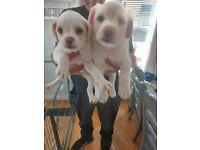 2 beautiful pushon puppies for sale bichion x pug