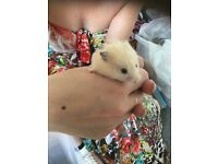 NEW! Baby Hamsters - Super Fluffy and cute!
