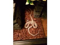 corn snake ghost snake and tank cool deco