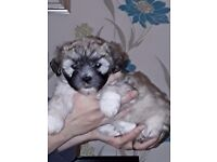 Shih tzu cross puppies