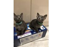 Blue Oriental Kittens