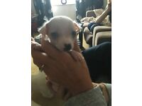 Chinese Crested X Bichon Frise puppies