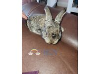Giant continental X Giant French Lop Rabbits