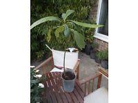 Avocado PPlant - stands 53cm tall