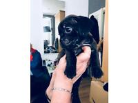 Mix boston pug and puggle puppies for sale
