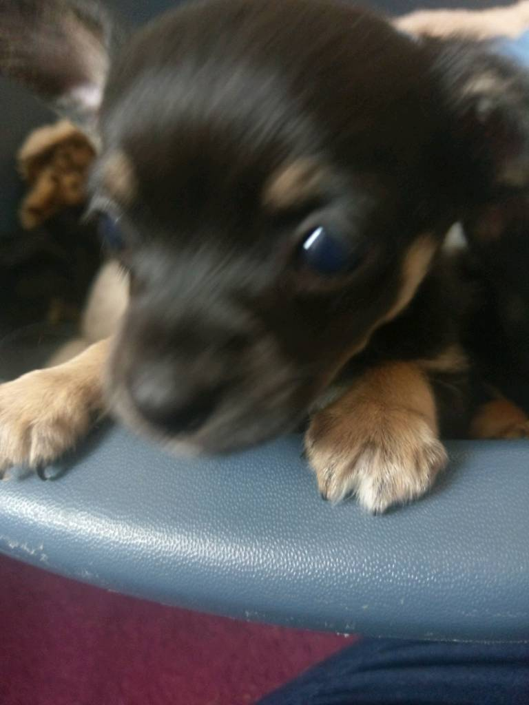 Chihuahua teacup puppy male