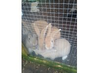 Baby rabbits for sale They are 10weeks old